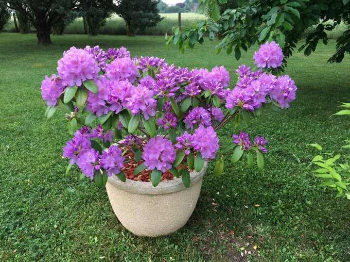 2018-05 17 Rhododendron
