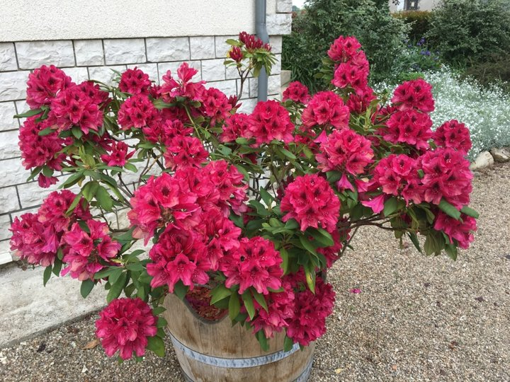 2018-05 18 Rhododendron
