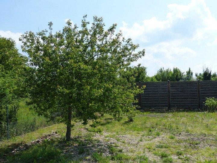 Abricotier Planté en 2010.