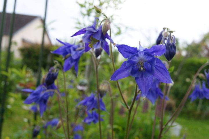 Ancolie bleu