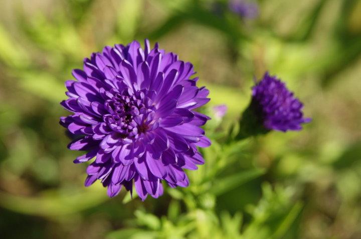 Aster bleu violet