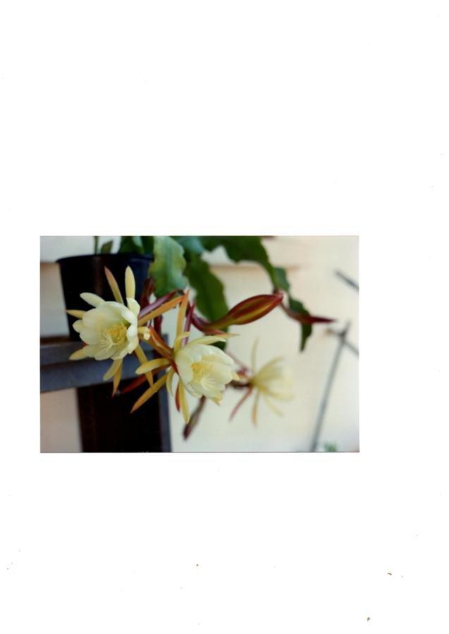 Autre epiphyllum