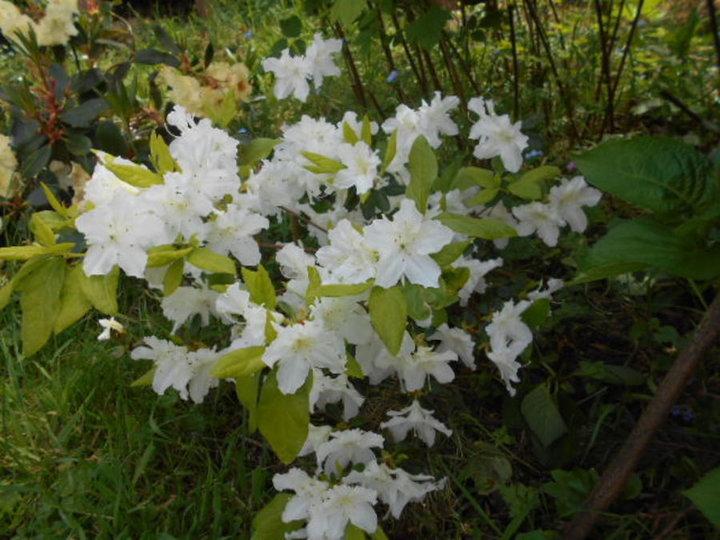 Azalee blanche