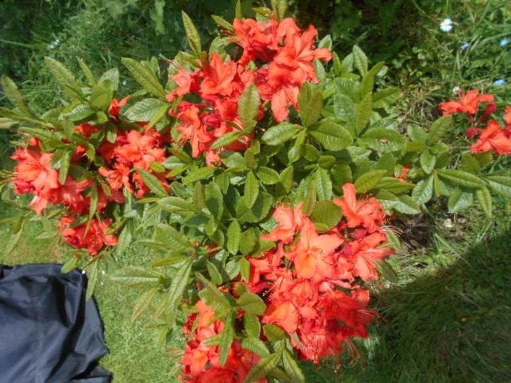 Azalee mollis orange