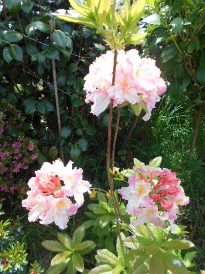 Azalee mollis rose