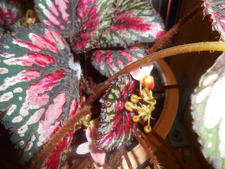 Begonia rex en fleur