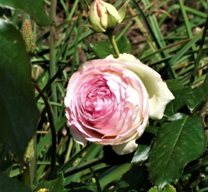 Belle rose parfumée
