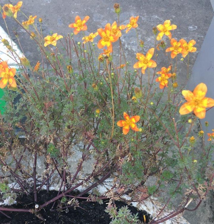 Bidens jaune /orange