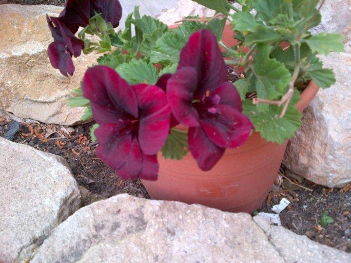 Bouture de pelargonium en fleur