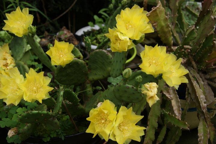 CACTUS jaune - Figuier des Indes
