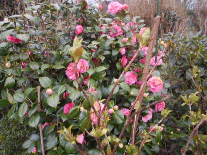 Camelia a fleurs rose dbles