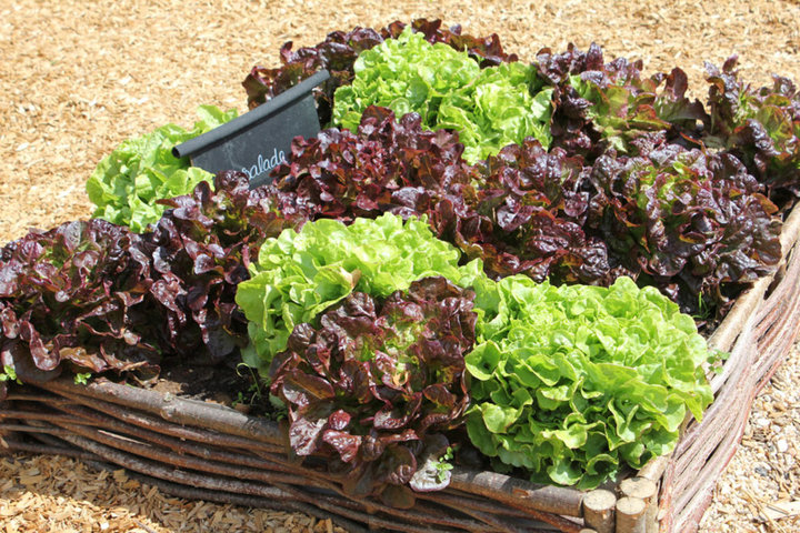 Carré de salades