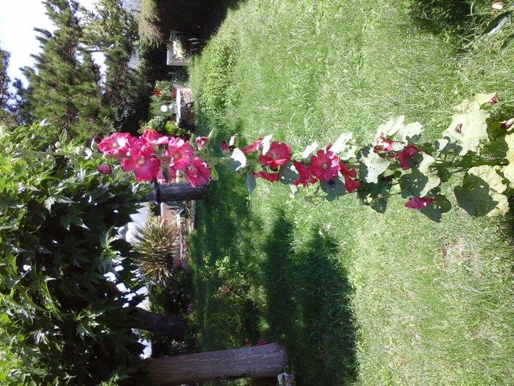 Ce matin malgres l'orage terrible d'hier soir elle s'est tenue bien droite ! elle est jolie cette rose tremière n'est-ce pas ?
