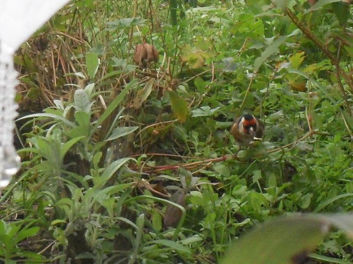 Chardonneret grapillant des graines au sol