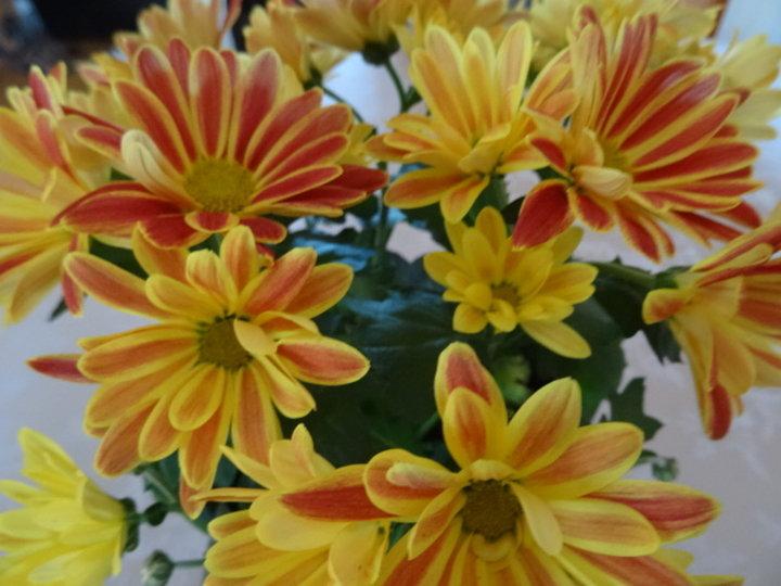 Chrysanthèmes bicolores