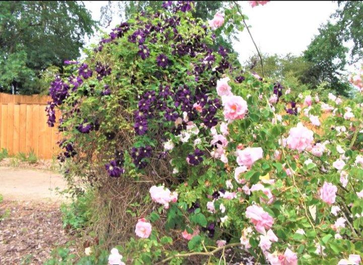Clématite et roses thé
