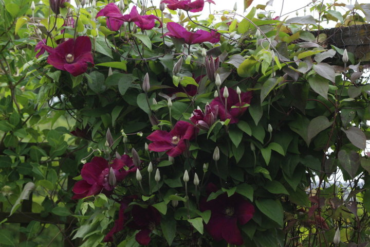 Clematite visoflora violette