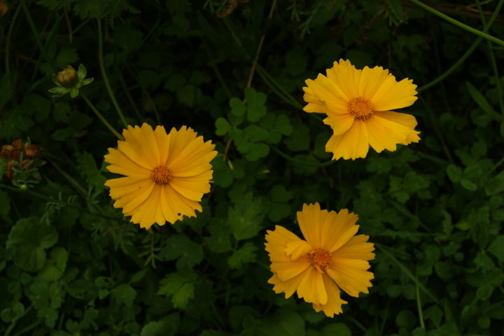 COREOPSIS vivace