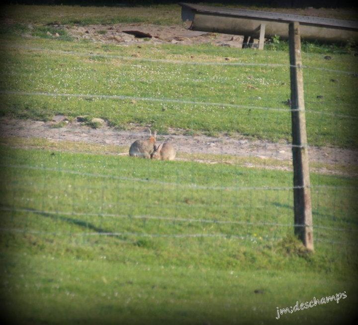 Couple de lapin de garenne