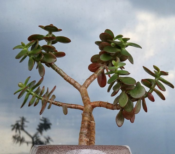 Crassula Ovata Minor.