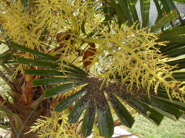 Défloraison d'un palmier