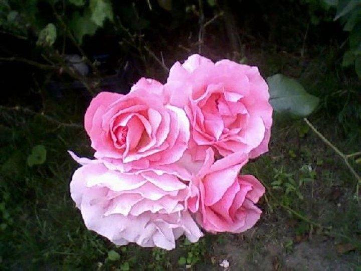 Des rose de mon jardin .