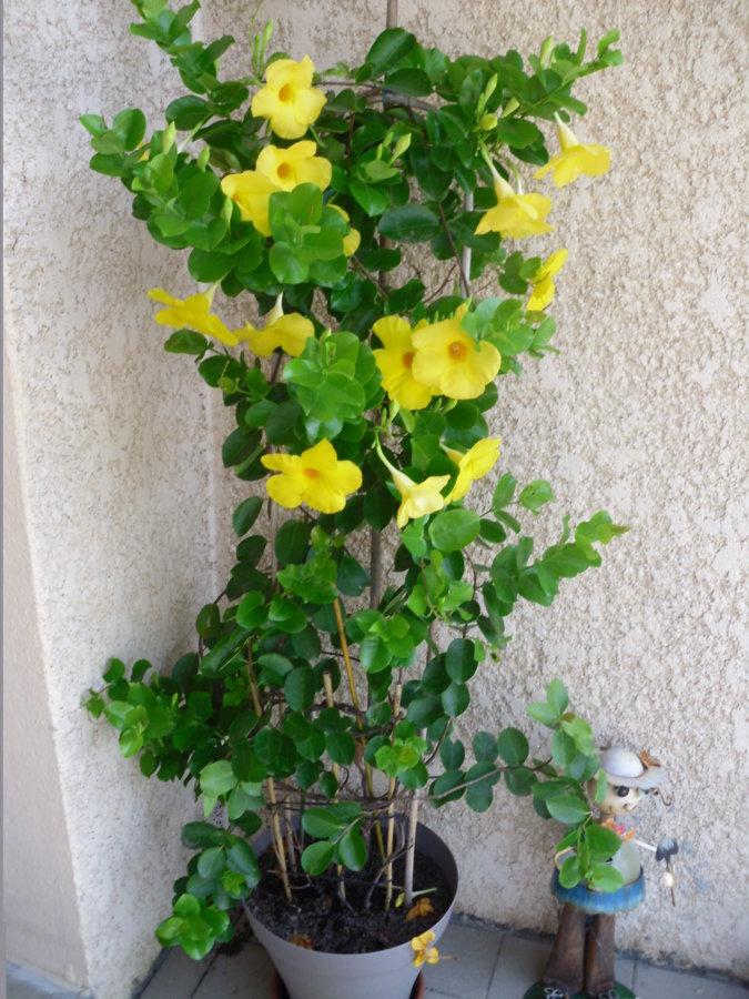 Dipladenia jaune