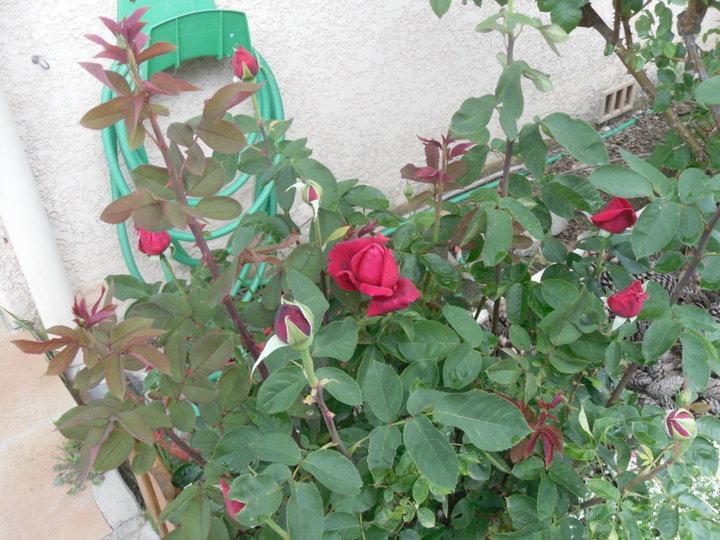 Encore des roses