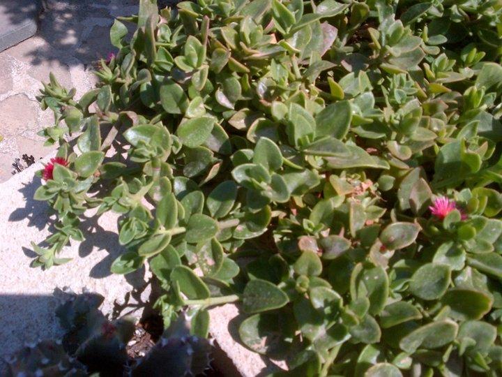 Encore une plante grasse qui commence a fleurir