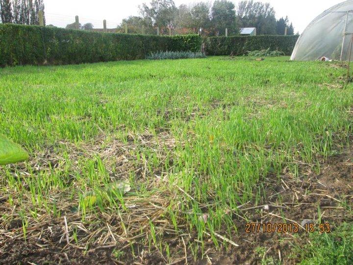 Engrais vert 16 jours après le semi le 27 10 2013