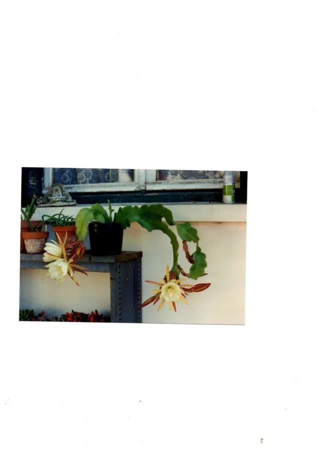 Epiphyllum botanique