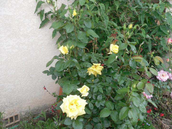 Et encore des roses
