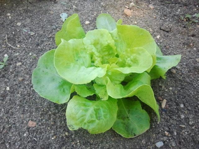 Et les salades qui avancent...