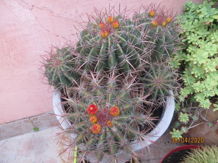 Ferocactus (mais lequel?)
