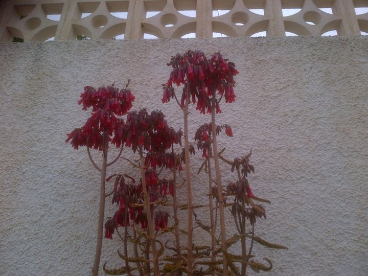 Fleur d'autre kalanchoé