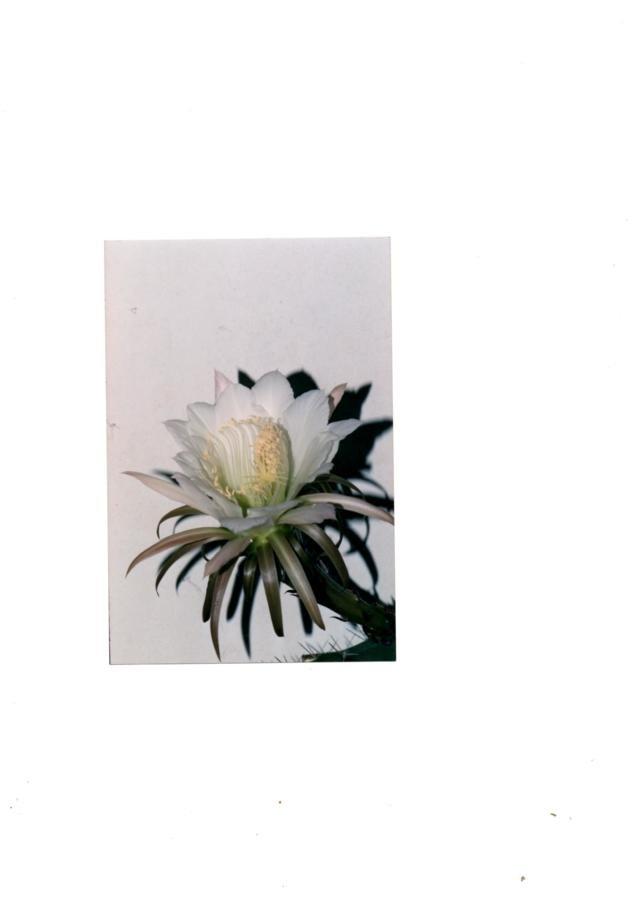 Fleur d'eriocereus