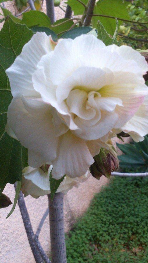 fleur d'hibiscus Duc de Brabant