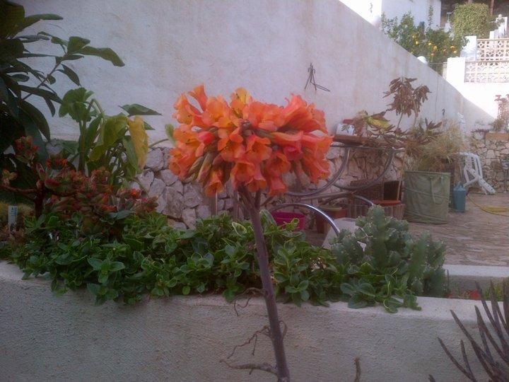 Fleur de kalanchoé