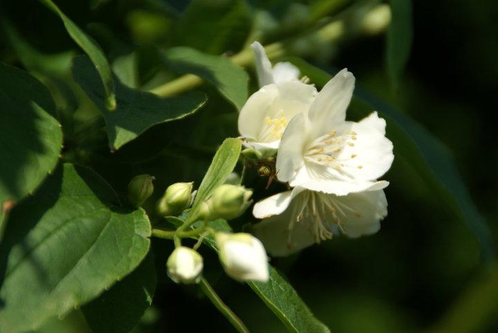 Fleur de seringat