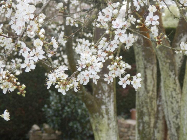 Fleurs de prunier