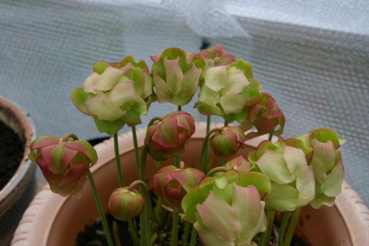 Fleurs de sarracenia x moorei