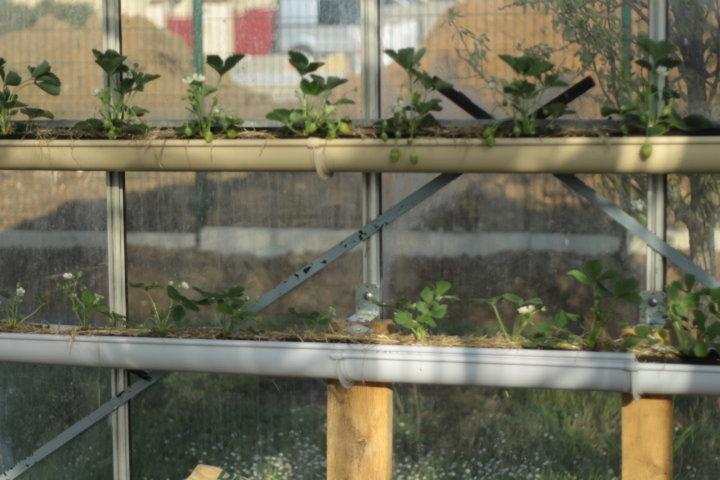 Fraises cultivées dans une gouttiere et en jardinière
