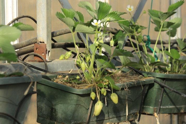 Fraises en jardinière dans la serre