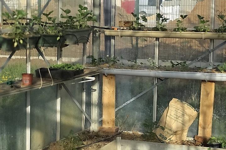 Fraises en jardiniere et en gouttiere