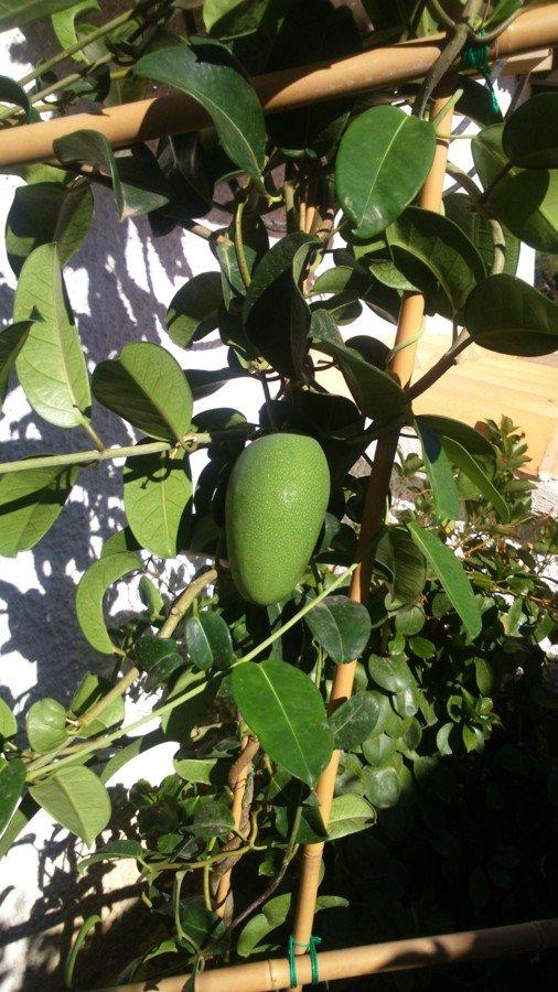 Fruit du stephanotis