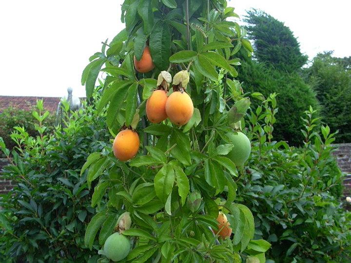Fruit passiflora caerulata