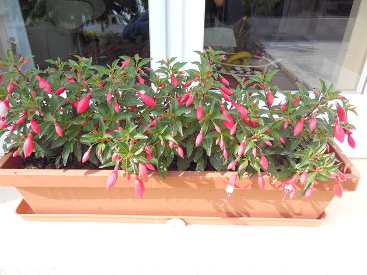 Fuchsia ..