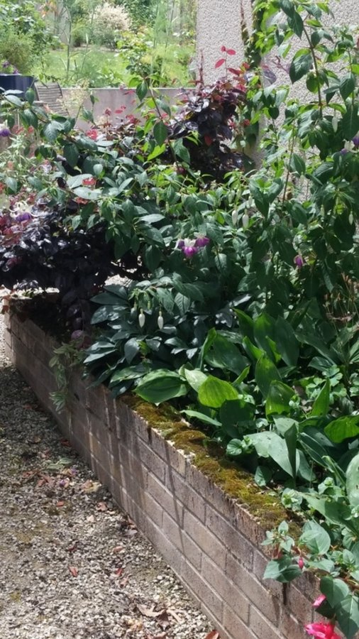 Fuchsia et loropetalum