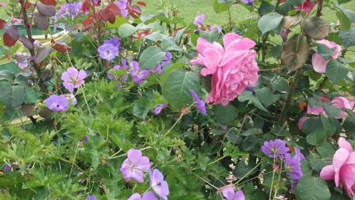 Geranium Rozanne  et rose Line Renaud