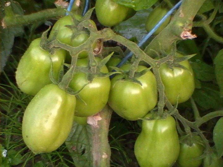 Grappe de tomate